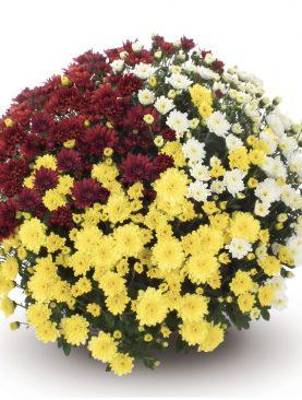 L. Krizantema Multiflora Trio Mix 1