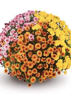 L. Krizantema Multiflora Trio Mix 3
