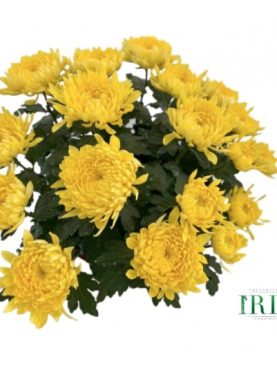 L. Krizantema Velikocvetna Yellow