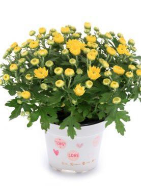 L. Krizantema Multiflora Yellow