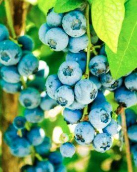 Ameriška borovnica 'Blueray'