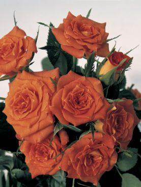 Vrtnica GPT Cumba® (plezalka)