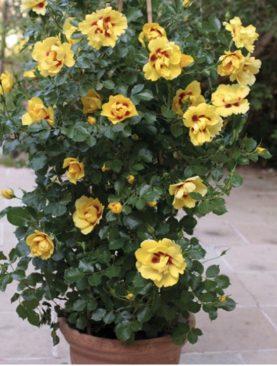 Vrtnica GPT Eyeconic® (plezalka)