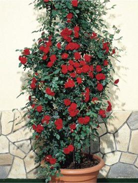 Vrtnica GPT Prince® (plezalka)