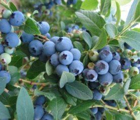 Ameriška borovnica 'Bluecrop'