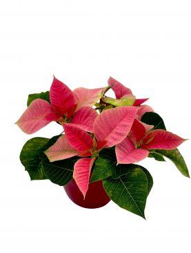 Božična zvezda Pink mini