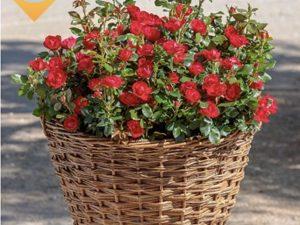 Grmaste vrtnice