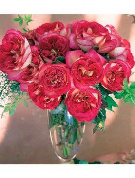 Vrtnica Bolshoi® (čajevka)