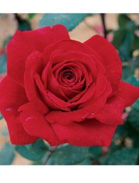 Vrtnica Botero® (čajevka)
