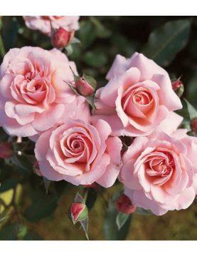 Vrtnica Botticelli Pink® (grmasta)