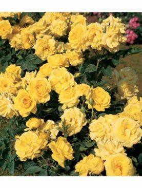 Vrtnica Carte D'or® (grmasta)