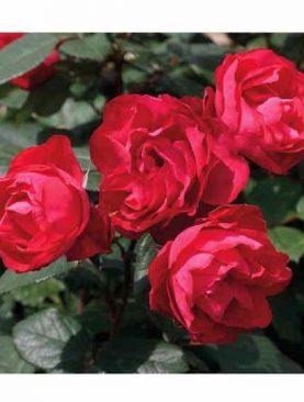 Vrtnica Cherry Bonica® (grmasta)