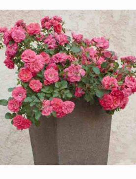 Vrtnica Coral Drift® (grmasta)