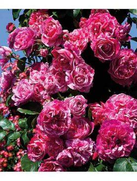 Vrtnica GPT Ines Sastre® (Plezalka)