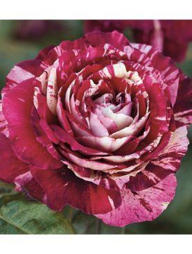 Vrtnica Julio Iglesias® (čajevka)