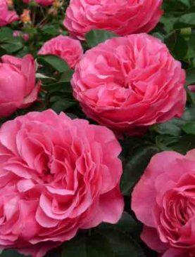 Vrtnica Leonardo da Vinci® (grmasta)