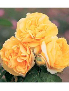 Vrtnica Michelangelo® (čajevka)