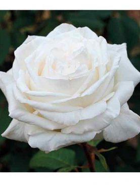 Vrtnica Pierre Arditi® (čajevka)