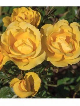 Vrtnica Rayon De Soleil® (Golden Bonica - grmasta)