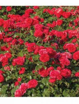 Vrtnica Red Leonardo da Vinci® (grmasta)