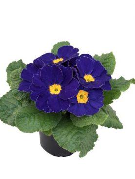 Primula Midnight Blue
