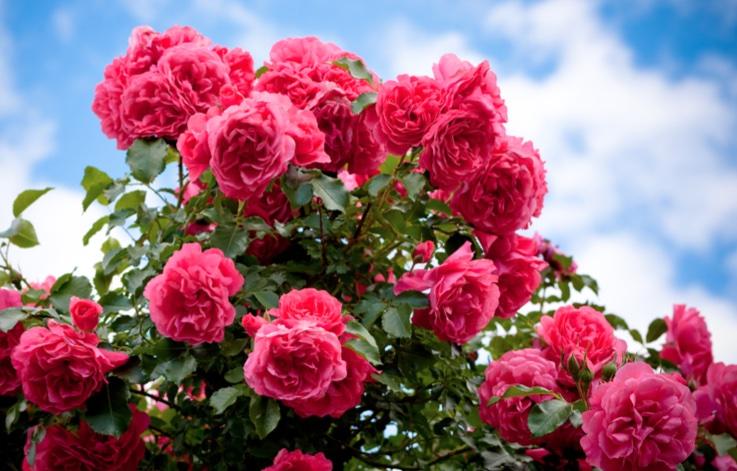 Sadike vrtnic