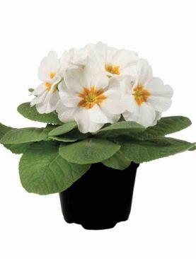 Primula White