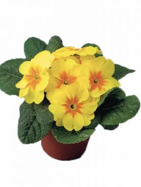 Primula Yellow with Eye