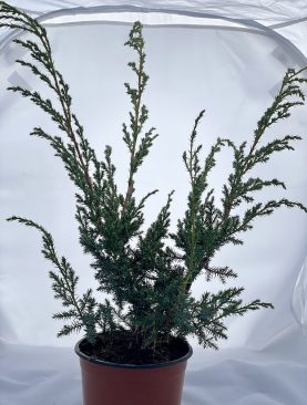 Brin / Juniperus chin. Blue Alps