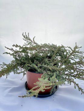 Brin / Juniperus c. Green Carpet