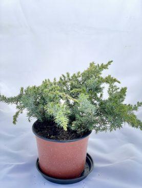 Brin / Juniperus conf. Sláger