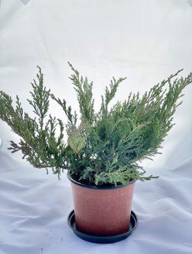 Brin / Juniperus h. Andorra Compacta