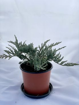 Brin / Juniperus hor. Blue Chip