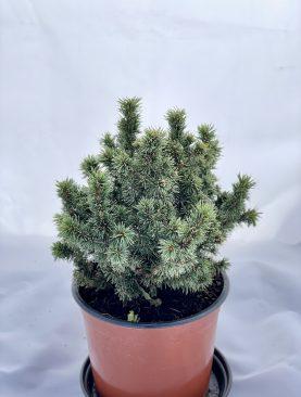 Smreka / Picea g. Alberta Globe