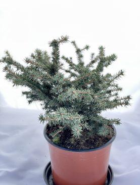Pančičeva smreka / Picea o. Karel