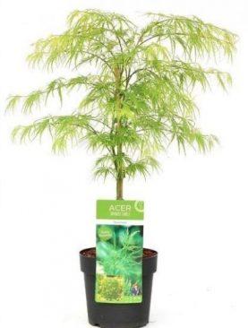 Javor / Acer palm. Dissectum