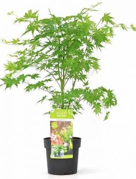 Javor / Acer palm. Going Green