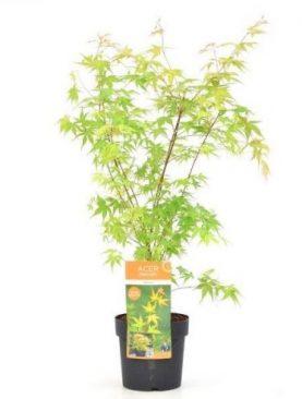 Javor / Acer palm. Katsura