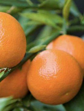 Citrus Klementina