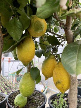 Citrus Limonovec