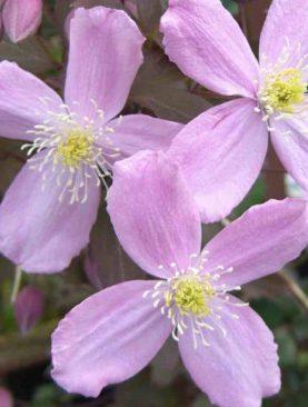 Vrtni srobot / Clematis mont. Spring Light Pink