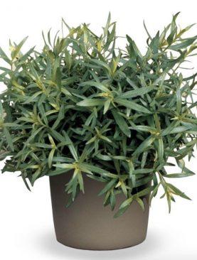 Pehtran / Artemisia drancunculus