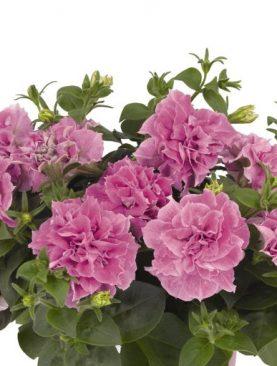 Petunija Double Pink
