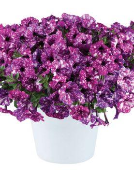 Petunija Purple Polka