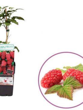 Tayberry Rubus Fruticosus