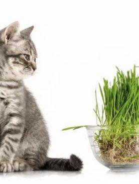 Mačja trava / Nepeta cataria
