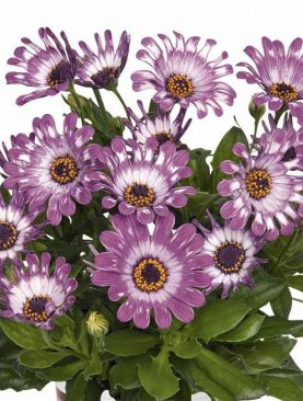 Kapski meseček / Osteospermum PURPLE SPOON