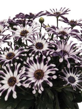 Kapski meseček / Osteospermum WHITE SPOON