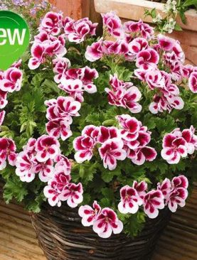 A. Pelargonija CANDY BICOLOR