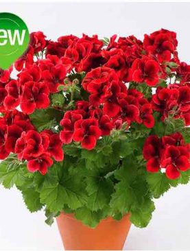 A. Pelargonija CANDY BRIGHT RED
